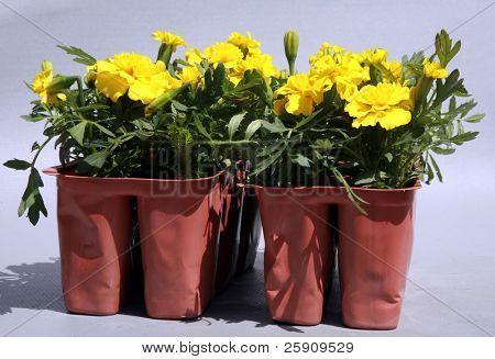 Yellow Merigolds