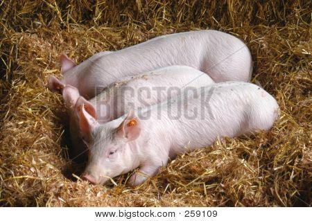 Pig 7060
