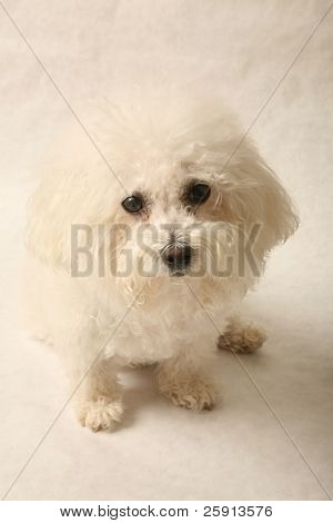 Fifi the Bichon Frise on a grey background
