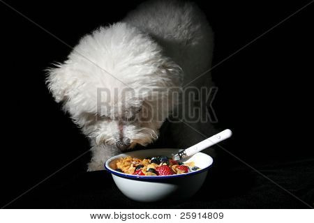 low key studio shot of Fifi the Bichon Frise eating a bowl of cereal with strawberries and blueberries  isolated on black