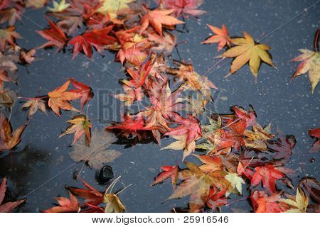 autumn leafs float in a rain water puddle in seattle washington