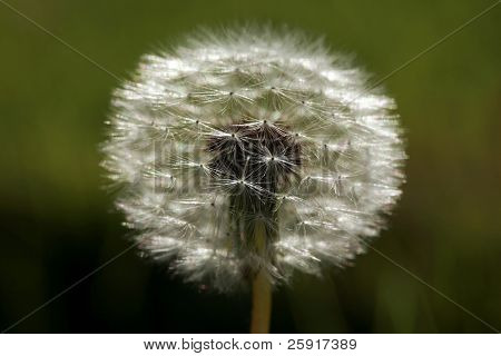 Dandelion closeup with narrow depth of field