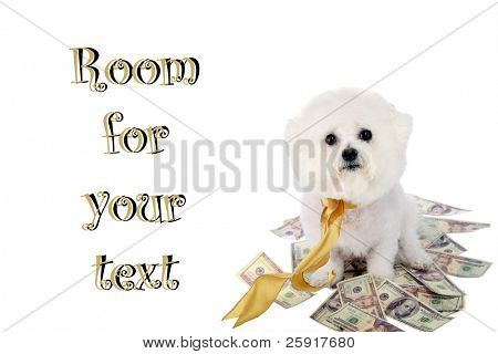 """a """"pure breed"""" """"bichon frise"""" with a gold bow sits on a pile of money """"isolated on white"""" with """"room for text"""""""