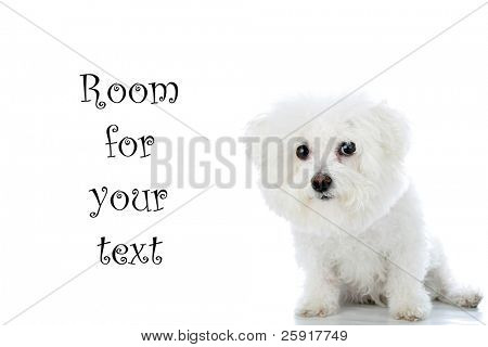 a purebred Bichon Frise isolated on white with room for your text