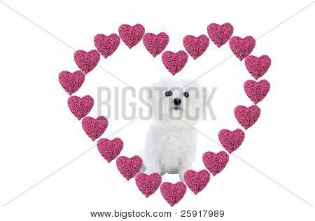 a Valentines Day Heart made from hot pink heart shaped roses isolated on white with a Bichon Frise in the center Image is easily removed and replaced with your text or image