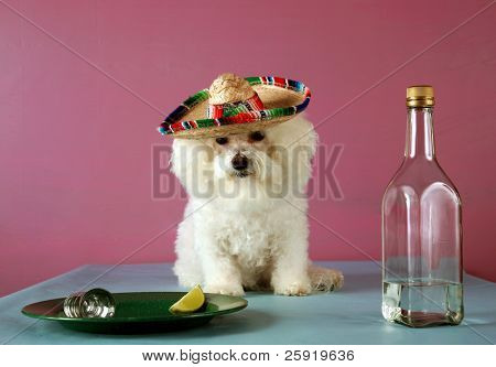 a Pure Breed Bichon Frise celebrates Cinco de Mayo with Tequila and a wedge of lime and salt