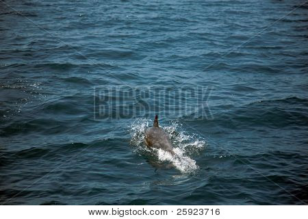 California common dolphin