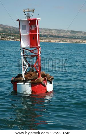 "california sea lions ""Zalophus californianus""  bask in the sun while they float on an ocean bouy in the warm pacific ocean off the coast of southern california"