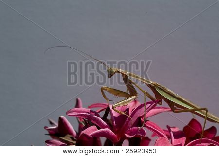 Close up shot of the amazing  Preying Mantis Hunting for other insects to eat
