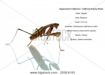 a chinese preying mantis aka california preying mantis. isolated on white with its shadow