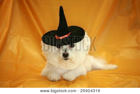 Fifi the pure bred Bichon Frise dog wears her witch hat for halloween while on a orange background