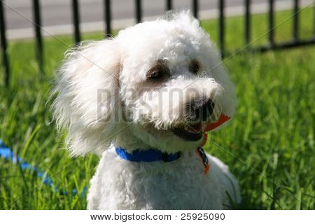 """Thor a """"Maltipoo"""" (maltese-poodle) mix breed dog, smiles as he enjoys a nice warm day playing in the grass"""
