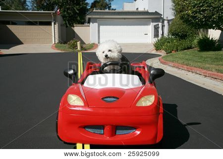 Fifi the pure breed Bichon Frise dog, smiles as she enjoys  a ride in her Hot Rod Sports Car