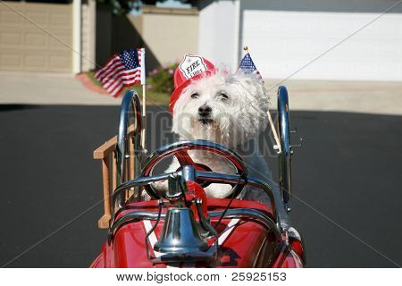 Fifi the pure breed Bichon Frise dog, smiles as she enjoys a ride in her pedal car Fire Truck