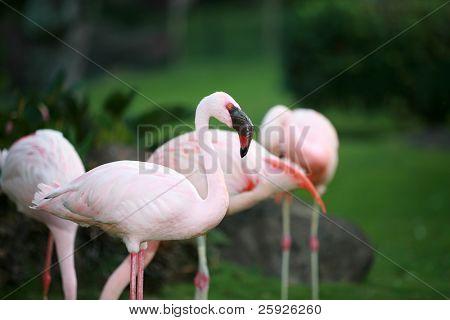 schöne Rosa flamingos