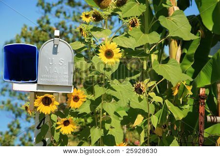 rural mail boxes with beautiful sunflowers all around outside in the summer sun