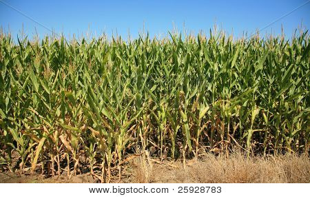 "corn growing in a corn field. this is an example of ""feeder corn"" a lower grade of corn grown cheaply for animal feed, and product use."