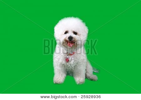 a Bichon Frise smiles as she sits infront of a Chroma Key or Green Screen for easy chroma key special effects