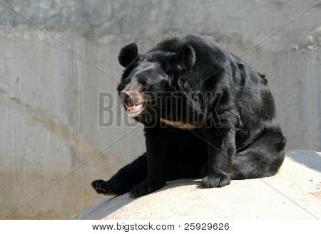 Asian black bear (Ursus thibetanus)