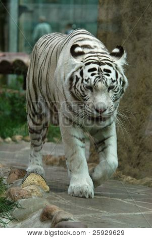 White tiger (Panthera tigris tigris), Indian people think that a meeting with it brings a good luck.