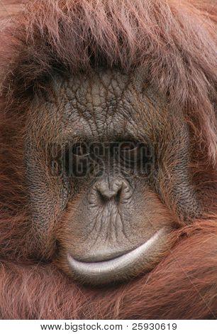 Orang-utan (Pongo pygmaeus)
