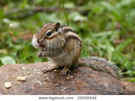 Hungry chipmunk eating biscuits