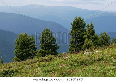 Cedar pines at the Khamar-Daban mountain range near Lake Baikal in Siberia, Russia