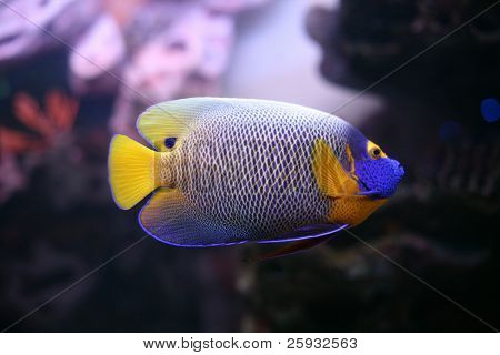 Regal spotted angelfish also known as a Blueface angelfish (Pomacanthus xanthometapon)