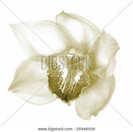Beautiful orchid flower blossom vector in sepia isolated on white