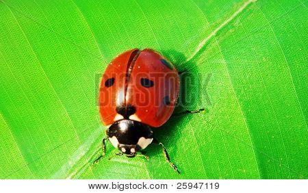 Macro shot of a ladybird bug sitting on a green leaf