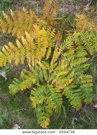 Colourful Bracken
