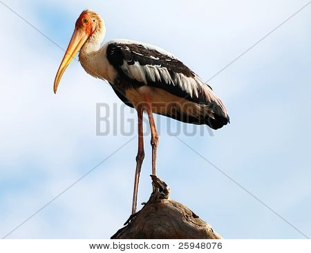 Beautiful Painted Stork (Mycteria leucocephala) from national park Yala, Sri Lanka - safari