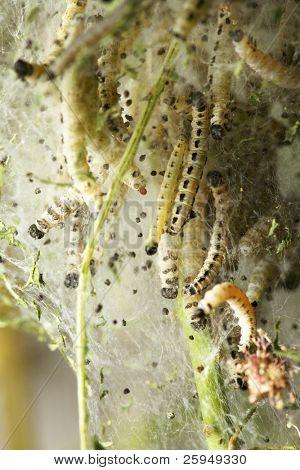Bird-cherry ermine larvae (Yponomeuta evonymellus)