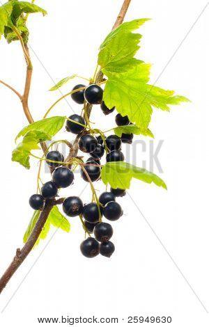Black currant berries with the branch