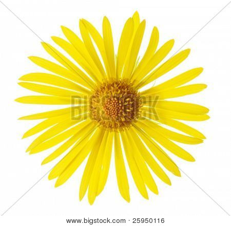 Summer flower, Leopard's bane isolated on white