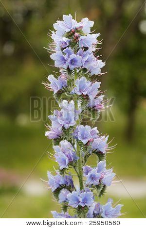 Viper's Bugloss (Echium vulgare) perennial flower