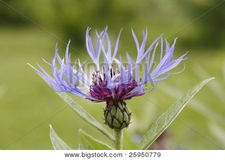 Perennial Cornflower (Centaurea montana) aka Mountain Cornflower; Montane Knapweed or Mountain Bluet