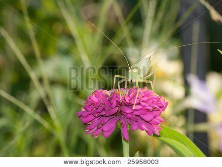 True Katydid on pink Zinnia flower