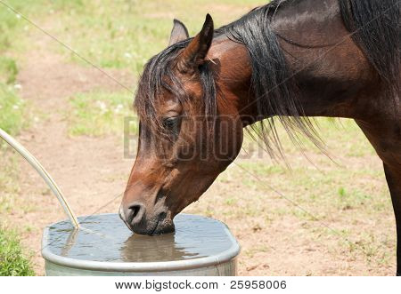Dark Bay Arabian horse drinking from water trough on a hot summer day