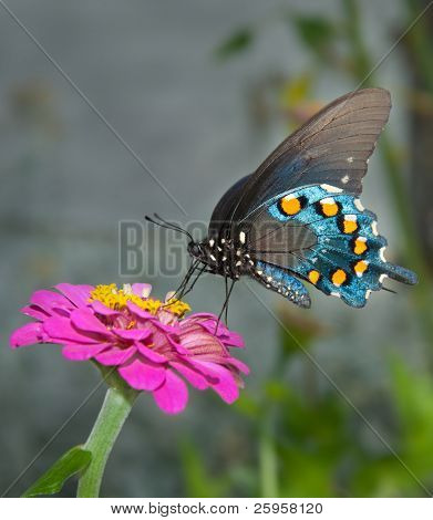 Green Swallowtail Butterfly on simple dark pink Zinnia