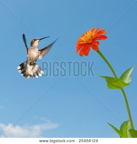 Female Ruby-throated hummingbird flying to an orange Zinnia flower