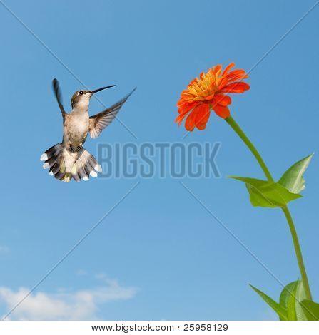 Female Ruby-throated hummingbird flying to an orange Zinnia flower
