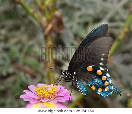 Green Swallowtail Butterfly on light pink Zinnia