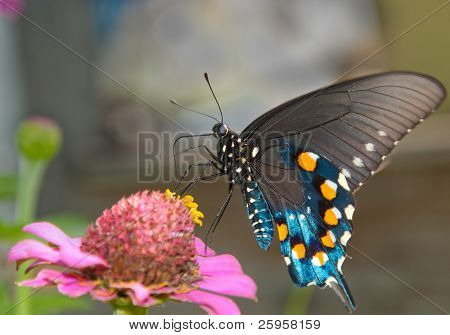 Green Swallowtail Butterfly on pink Zinnia