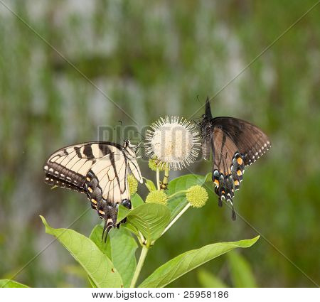 Eastern Tiger Swallowtail butterfly and a black morph of the same species sharing a buttonbush flower