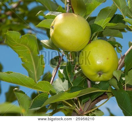 Two green apples ripening in the tree against blue sky