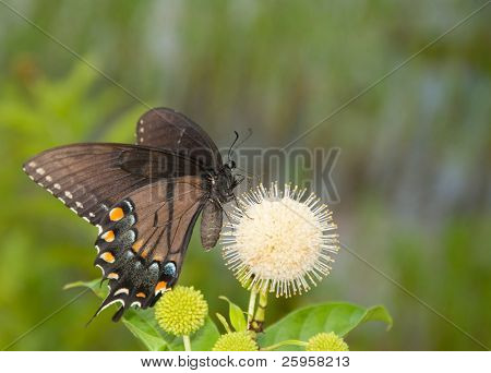 Black morph of an Eastern Tiger Swallowtail butterfly feeding on buttonbush flower