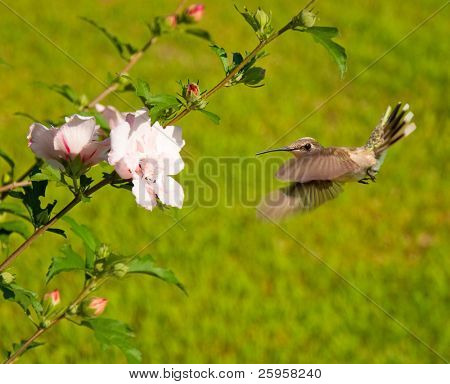 Hummingbird veering fast to an Althea flower