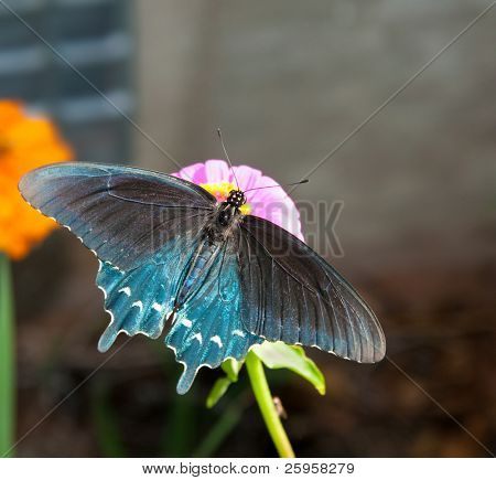 Green Swallowtail on Zinnia with wings wide open