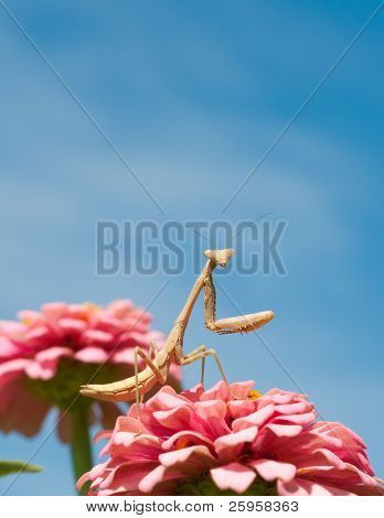 Hungry Carolina Mantid is waiting for prey - are you next?